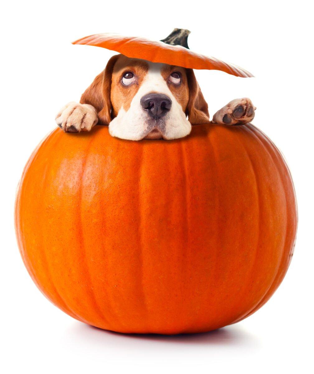 pumpkin carbs post image with dog inside of pumpkin
